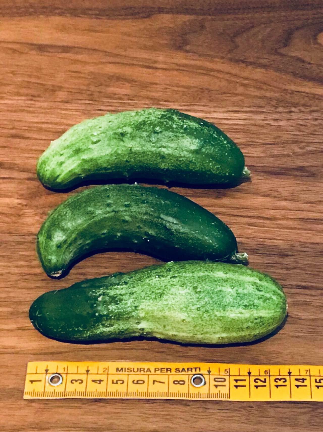 きょう収穫したミニきゅうり。大きさは10〜13cm程度。 https://t.co/ucVYaOsVM8