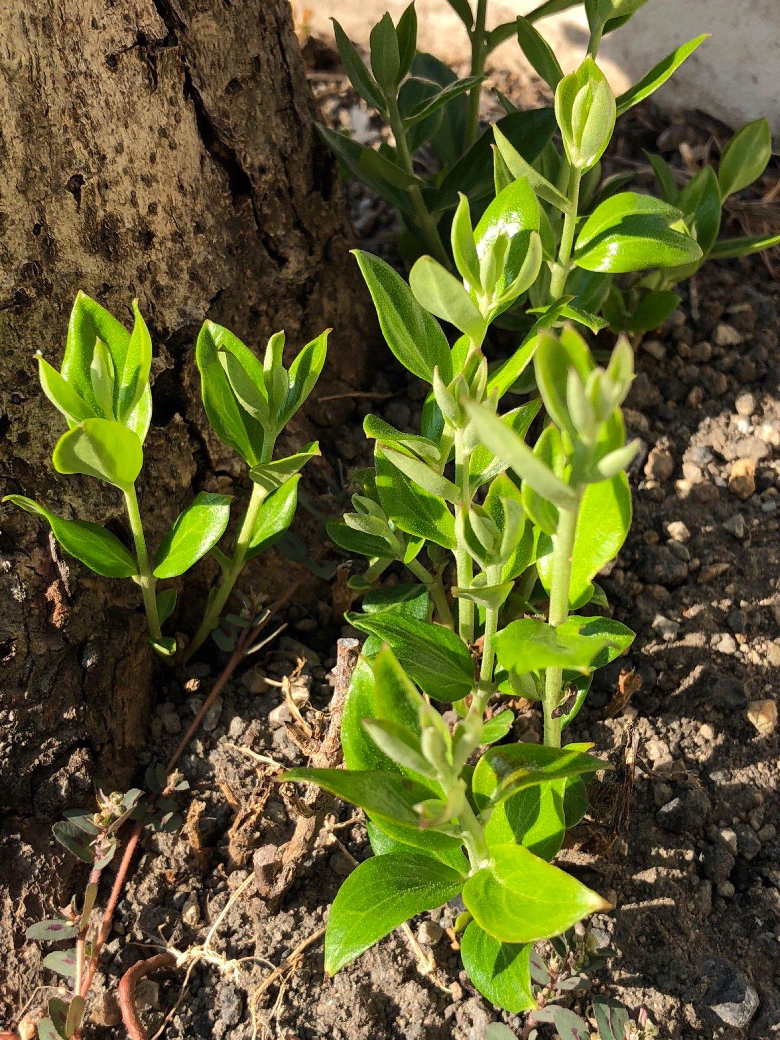 虫に食われて枯れてしまったオリーブの木のあたりからいくつか芽が出てきていた。もしかしてオリーブの木になるのかな。しばらく様子を見ておきたい。 https://t.co/ojmIjGWgq2