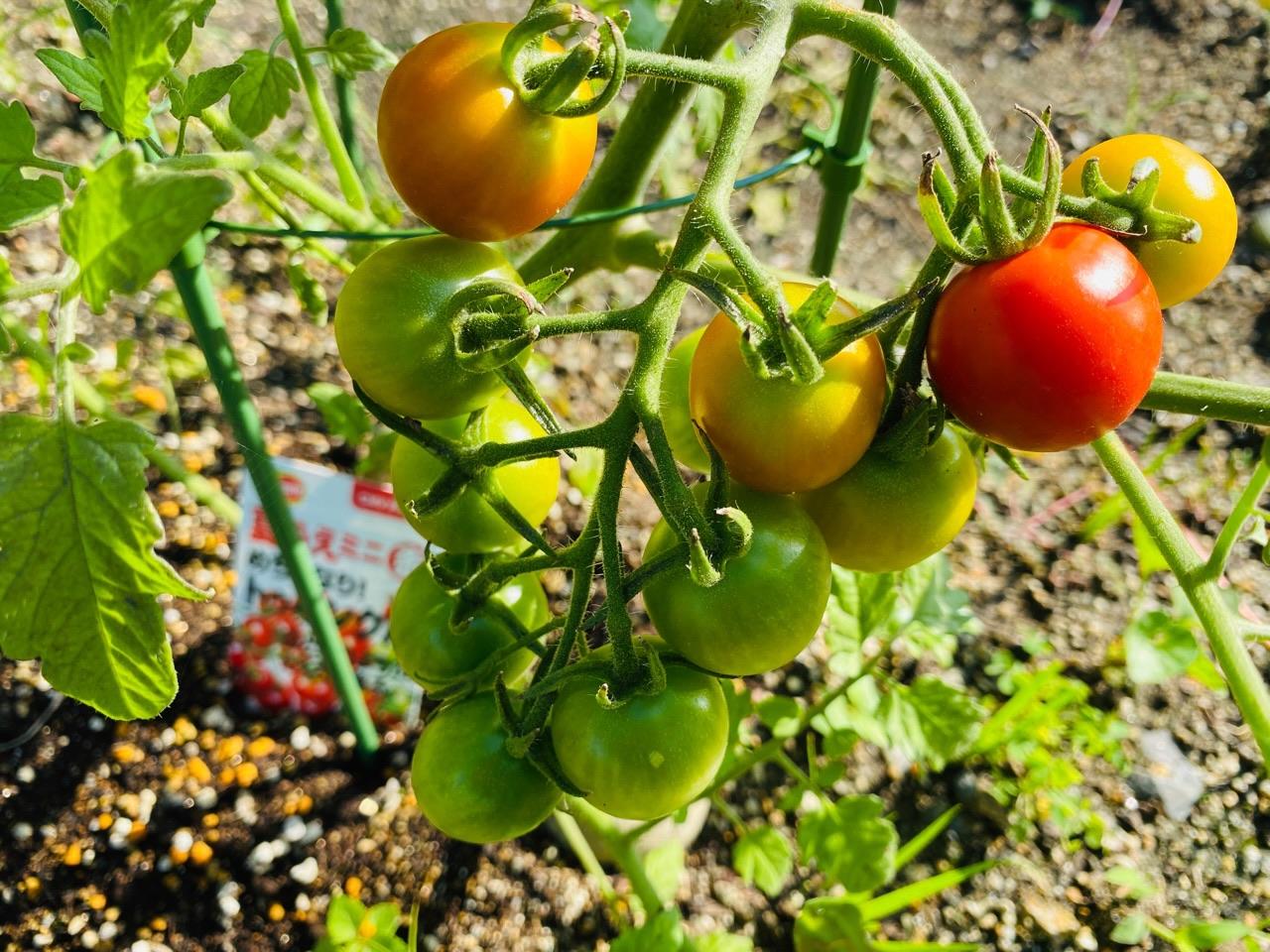 めちゃなり!トゥインクル。本当にぶどうみたいにミニトマトが連なってる。 https://t.co/vHczReiiqu