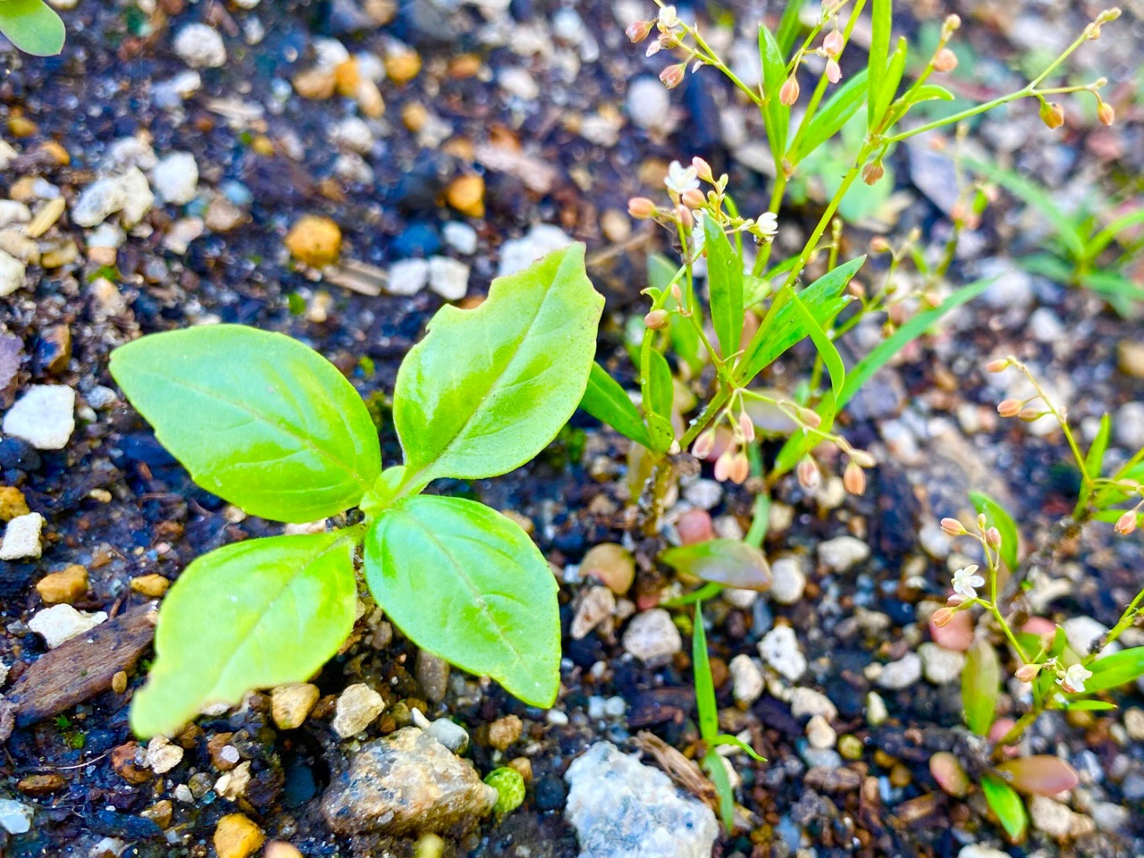 こぼれ種からバジルの芽が出てた(∩´∀`)∩ まだ1つしかないけど去年も1つしか出てこなかったからどうかなぁ。 https://t.co/NBl5dagvVn
