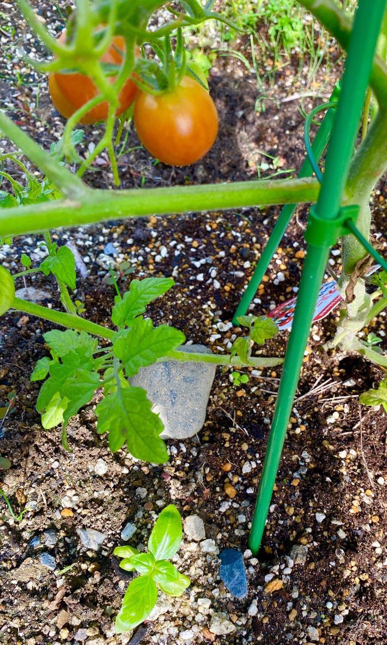 バジル増えてた(∩´∀`)∩ トマトの近くに芽が出てきてる。今年2つめ。 https://t.co/HqbMmCWt41