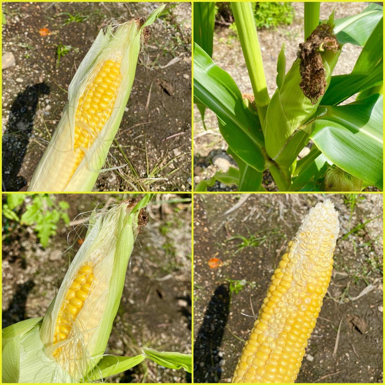 庭で育てていたトウモロコシ ゴールドラッシュを初収穫。表側は綺麗に粒が揃ってた。裏側はちょっといまいち(;・∀・) https://t.co/e611LaHxLv