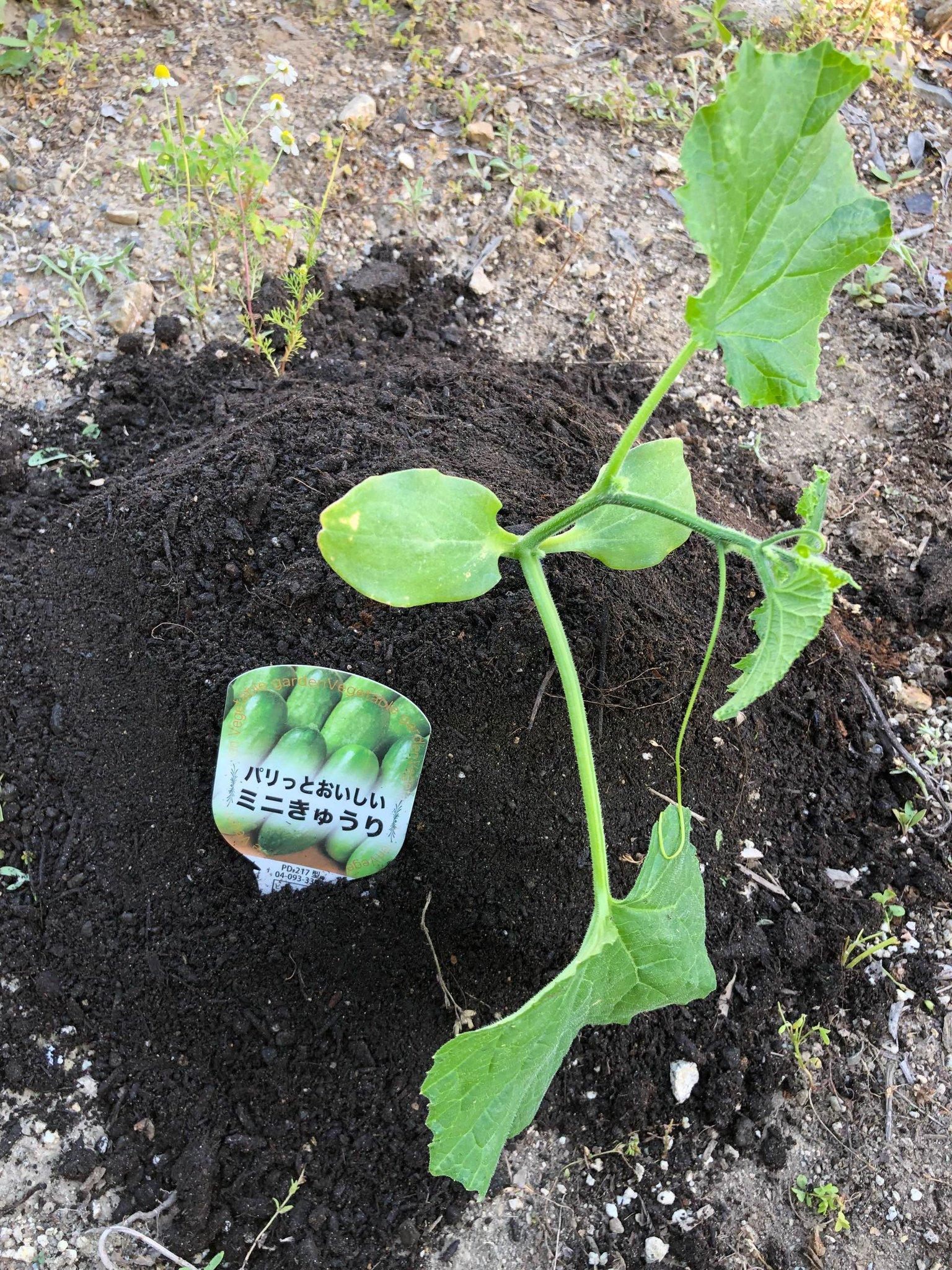パリっと美味しいミニきゅうりの苗を植えた。 https://t.co/jtHs9R0vxM