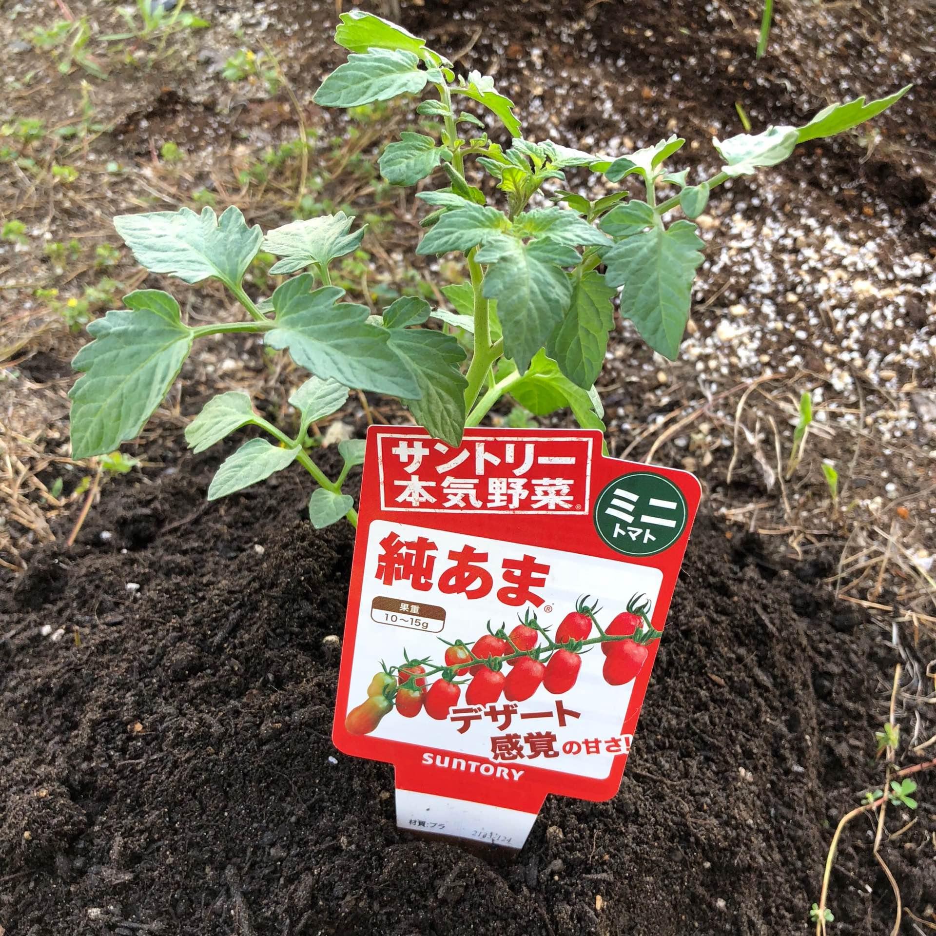 サントリー本気野菜ミニトマト純あまの苗を植えた。 https://t.co/upyiOnblDK