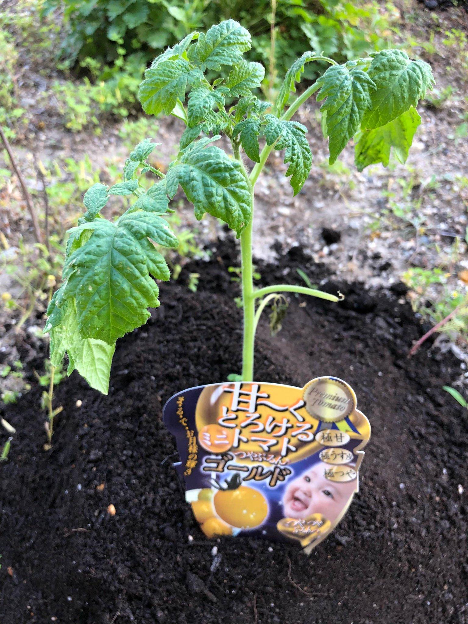 甘〜くとろけるミニトマトつやぷるんゴールドの苗を植えた。 https://t.co/SDTEg7iPoT